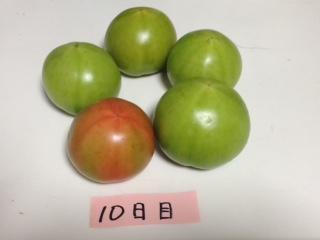 青いトマト10日目